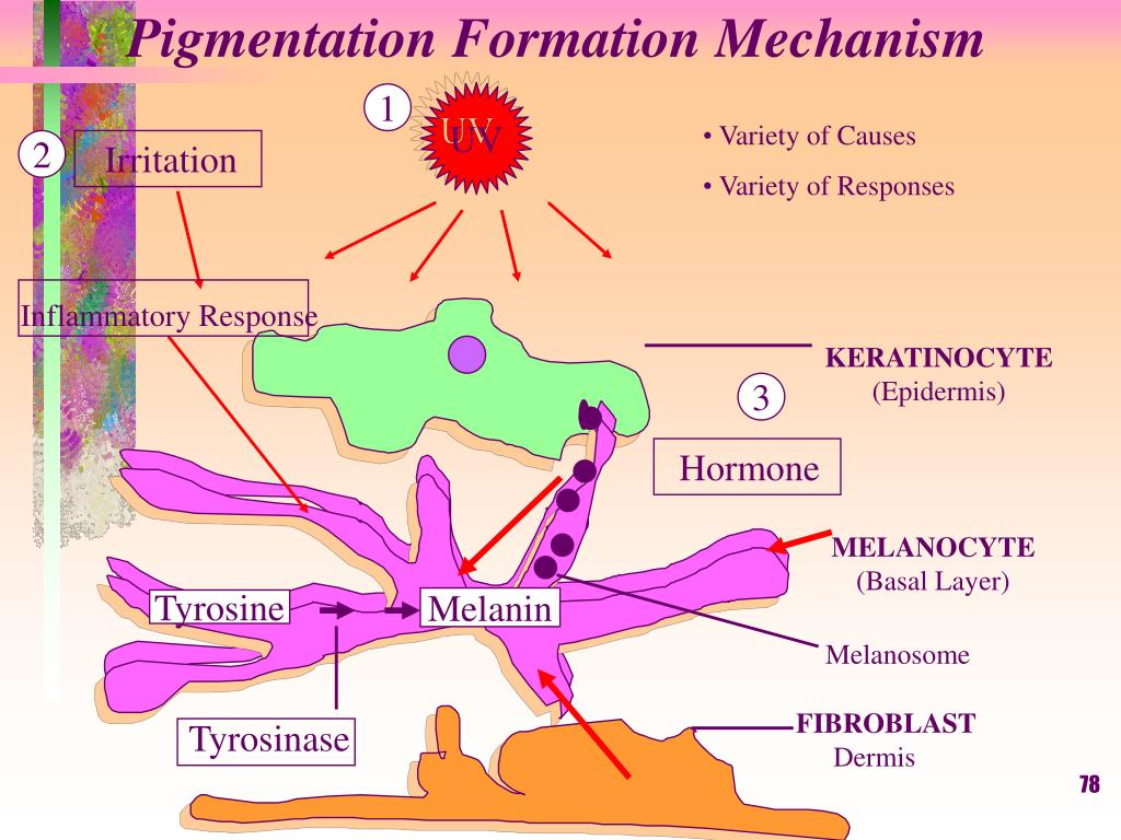 Pigmentation Formation Mechanism
