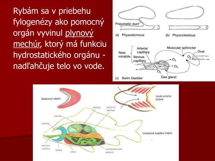 Rybám sa v priebehu fylogenézy ako pomocný orgán vyvinul