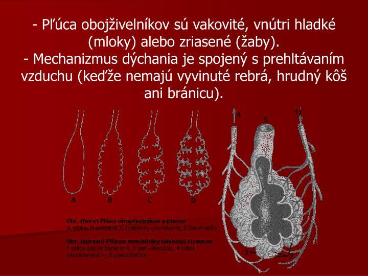 - Pľúca obojživelníkov sú vakovité, vnútri hladké (mloky) alebo zriasené (žaby).