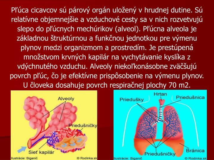 Pľúca cicavcov sú párový orgán uložený v hrudnej dutine. Sú relatívne objemnejšie a vzduchové cesty sa v nich rozvetvujú slepo do pľúcnych mechúrikov (alveol). Pľúcna alveola je základnou štruktúrnou a funkčnou jednotkou pre výmenu plynov medzi organizmom a prostredím. Je prestúpená množstvom krvných kapilár na vychytávanie kyslíka z vdýchnutého vzduchu. Alveoly niekoľkonásobne zväčšujú povrch pľúc, čo je efektívne prispôsobenie na výmenu plynov. U človeka dosahuje povrch respiračnej plochy 70 m2.