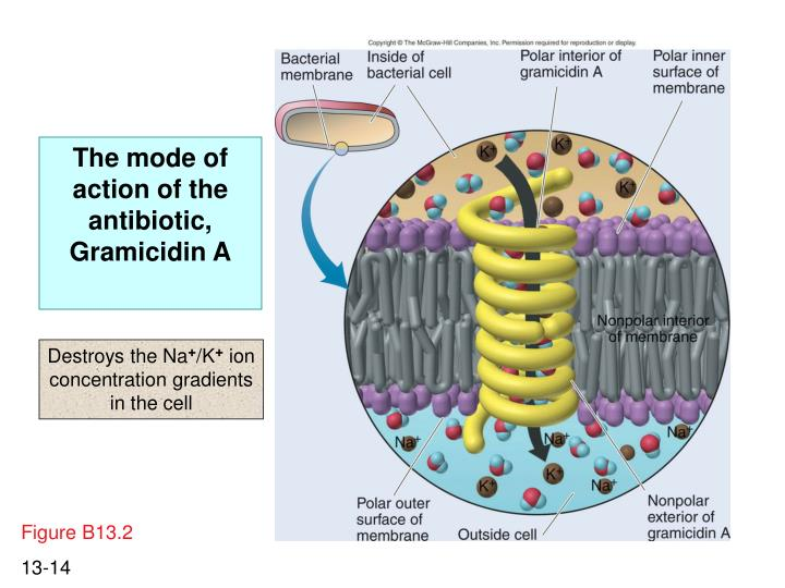 The mode of action of the antibiotic, Gramicidin A