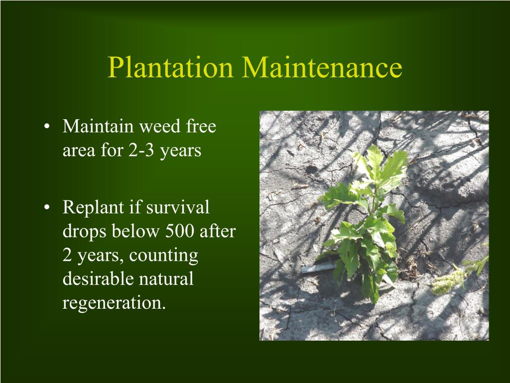 Maintain weed free area for 2-3 years