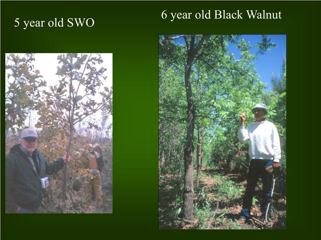6 year old Black Walnut