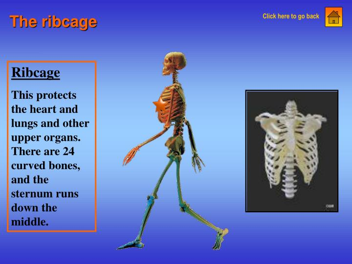 The ribcage