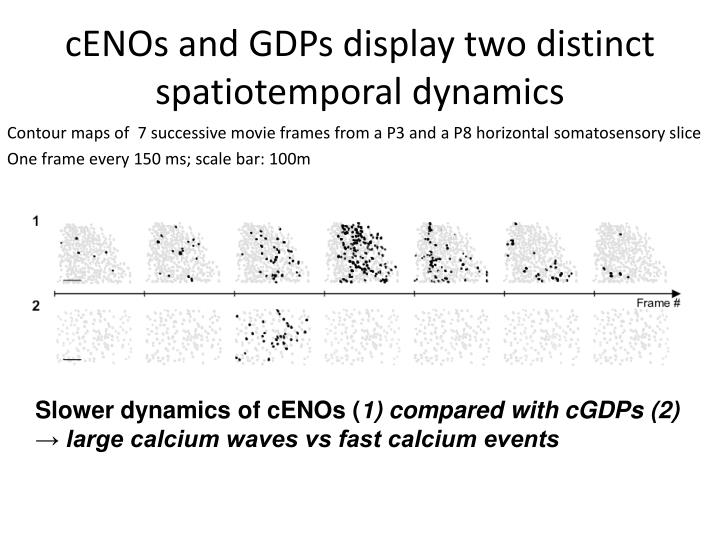 cENOs and GDPs display two distinct spatiotemporal