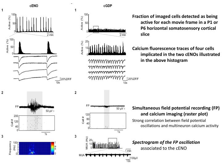 Fraction of imaged cells detected as being active for each movie frame in a P1 or P6 horizontal somatosensory cortical slice