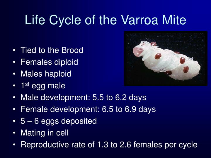 Life Cycle of the Varroa Mite
