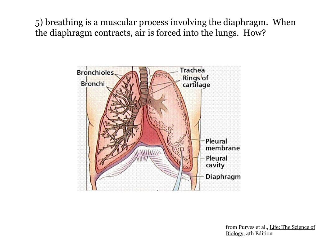 5) breathing is a muscular process involving the diaphragm.  When