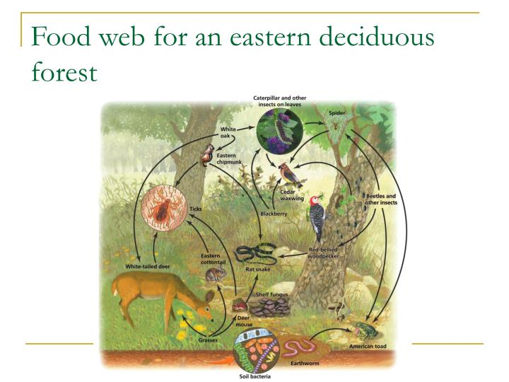 Food web for an eastern deciduous forest
