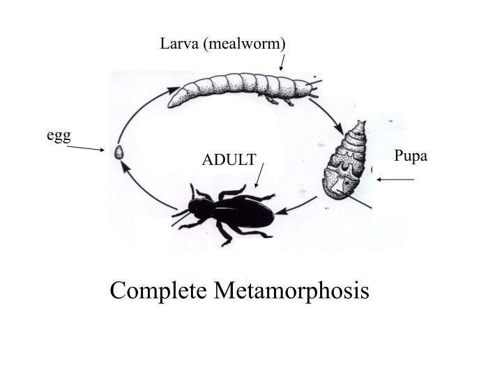 Larva (mealworm)