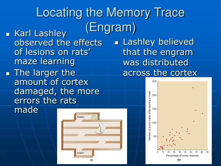 Karl Lashley observed the effects of lesions on rats' maze learning
