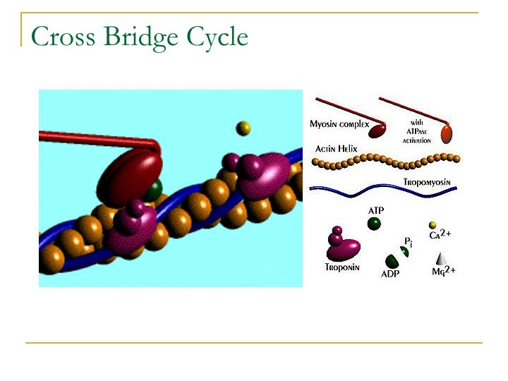Cross Bridge Cycle