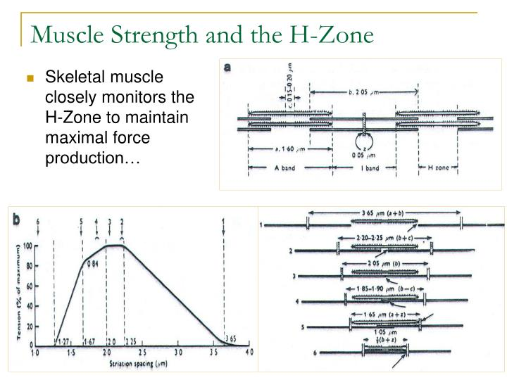 Muscle Strength and the H-Zone
