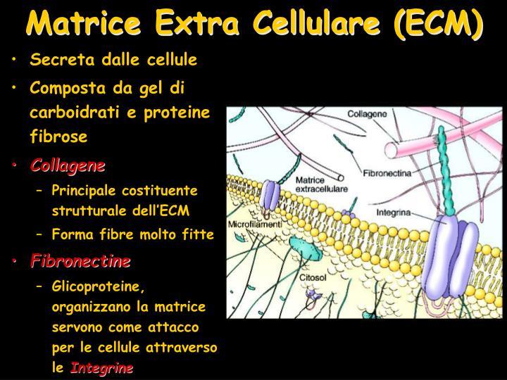 Matrice Extra Cellulare (ECM)