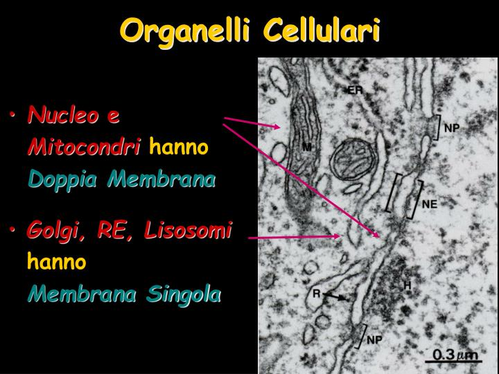 Organelli Cellulari