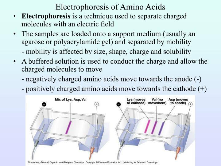 Electrophoresis of Amino Acids
