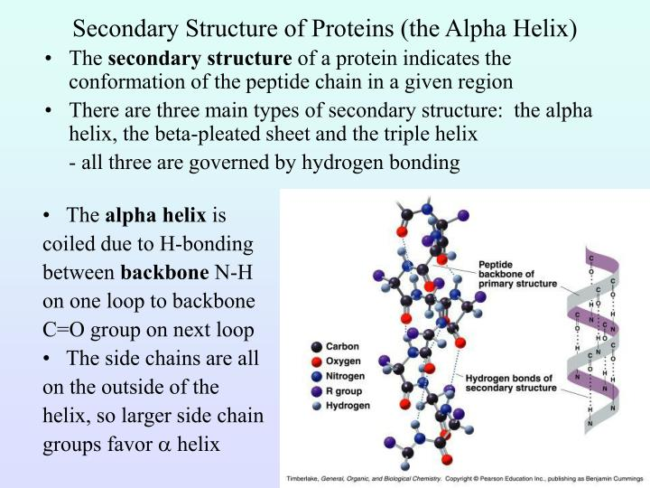 Secondary Structure of Proteins (the Alpha Helix)