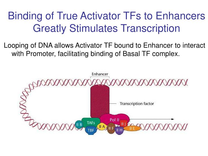 Binding of True Activator TFs to Enhancers Greatly Stimulates Transcription