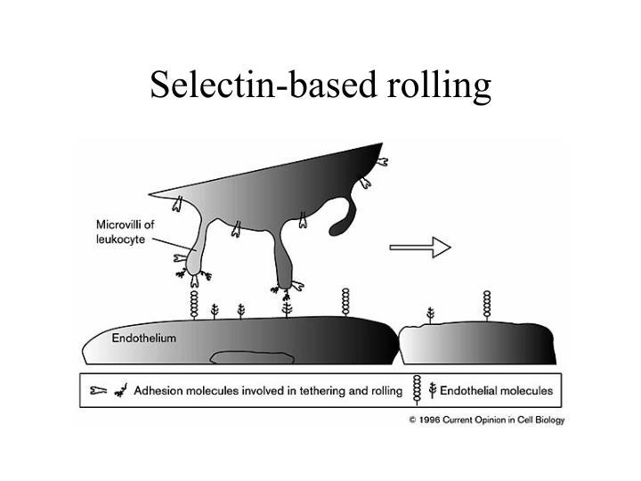 Selectin-based rolling