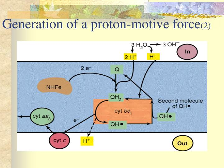 Generation of a proton-motive force
