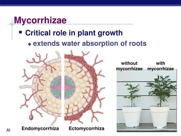 Mycorrhizae