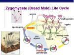 zygomycete bread mold life cycle