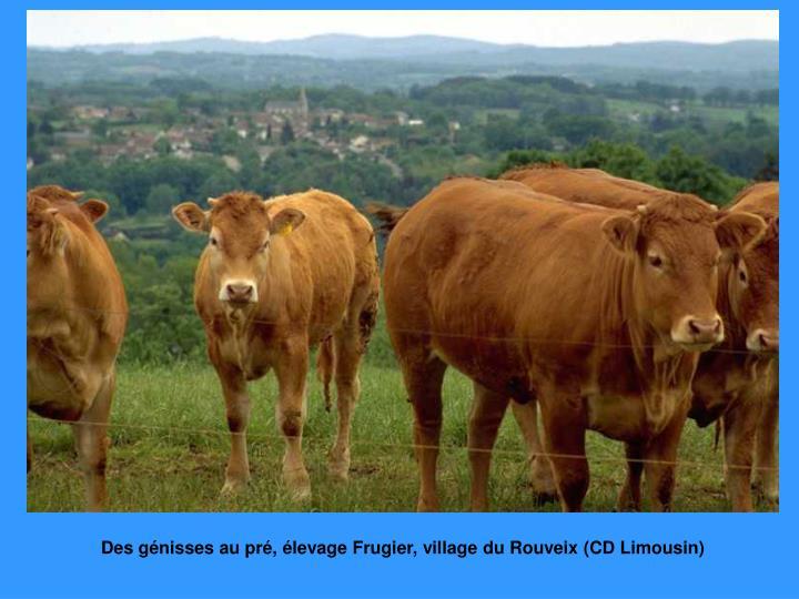 Des génisses au pré, élevage Frugier, village du Rouveix (CD Limousin)
