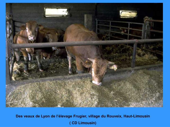 Des veaux de Lyon de l'élevage Frugier, village du Rouveix, Haut-Limousin