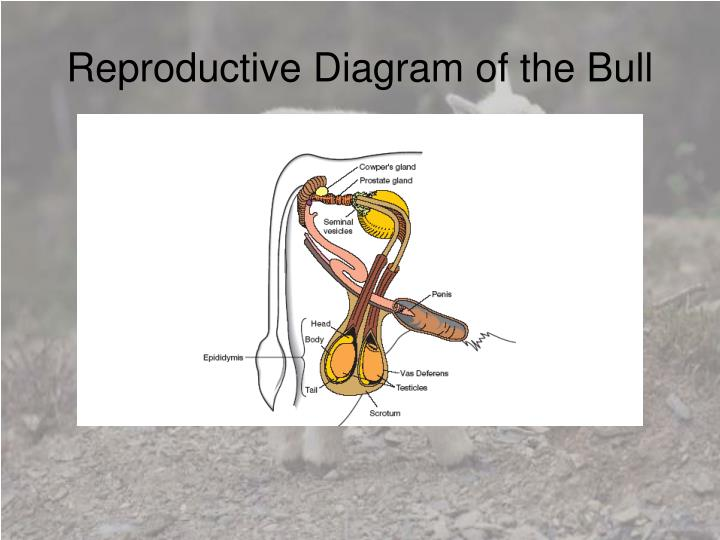 Reproductive Diagram of the Bull