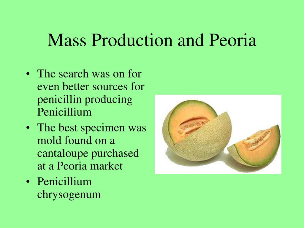The search was on for even better sources for penicillin producing Penicillium