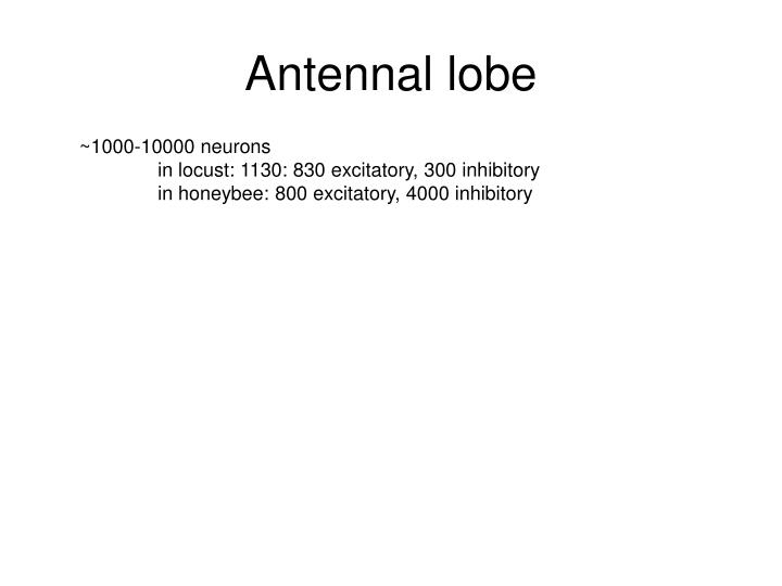 Antennal lobe