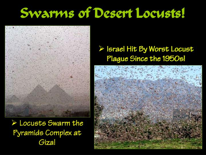 Swarms of Desert Locusts!