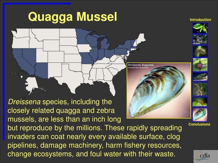 Quagga Mussel