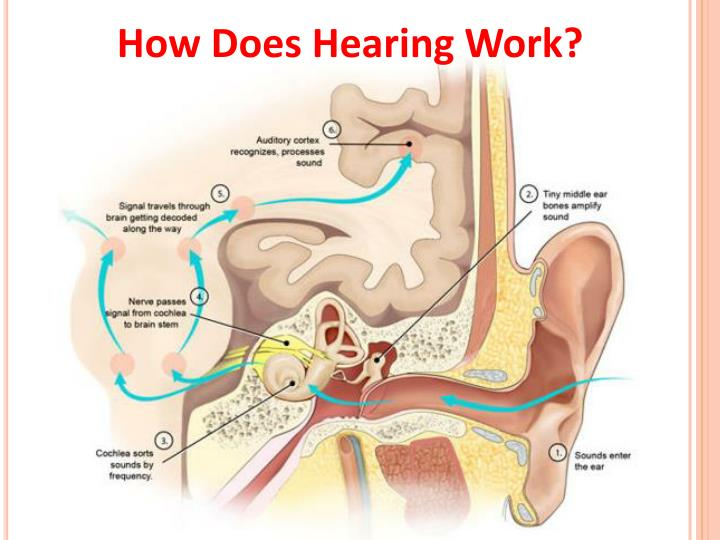 How Does Hearing Work?