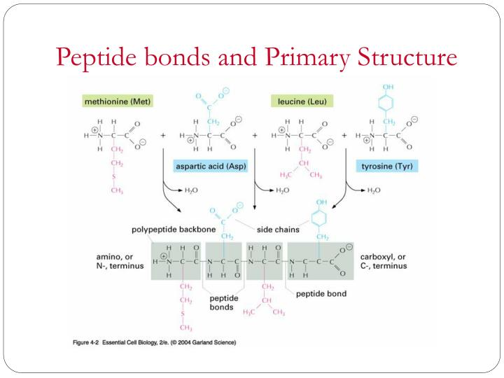Peptide bonds and Primary Structure