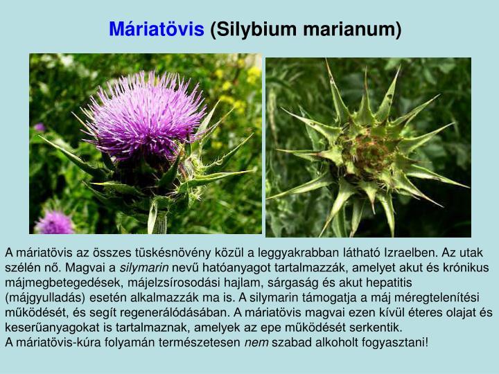 Máriatövis