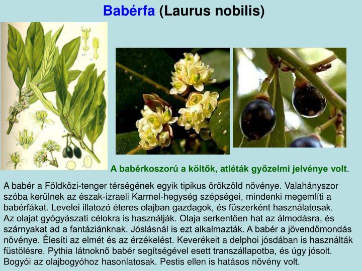 Babérfa