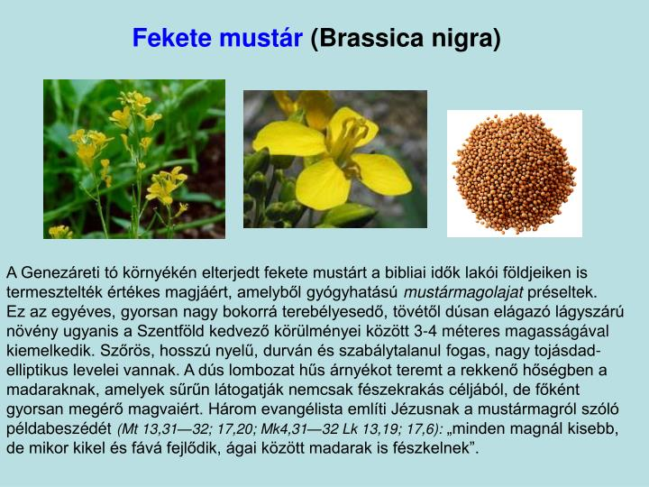 Fekete mustár