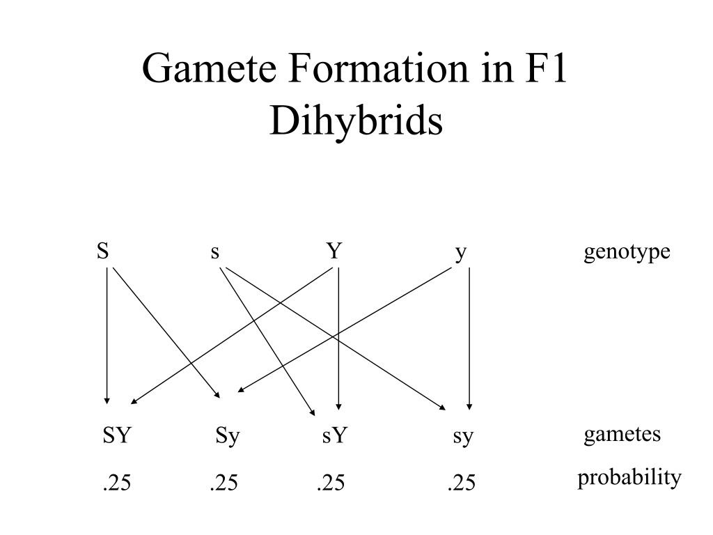 Gamete Formation in F1 Dihybrids