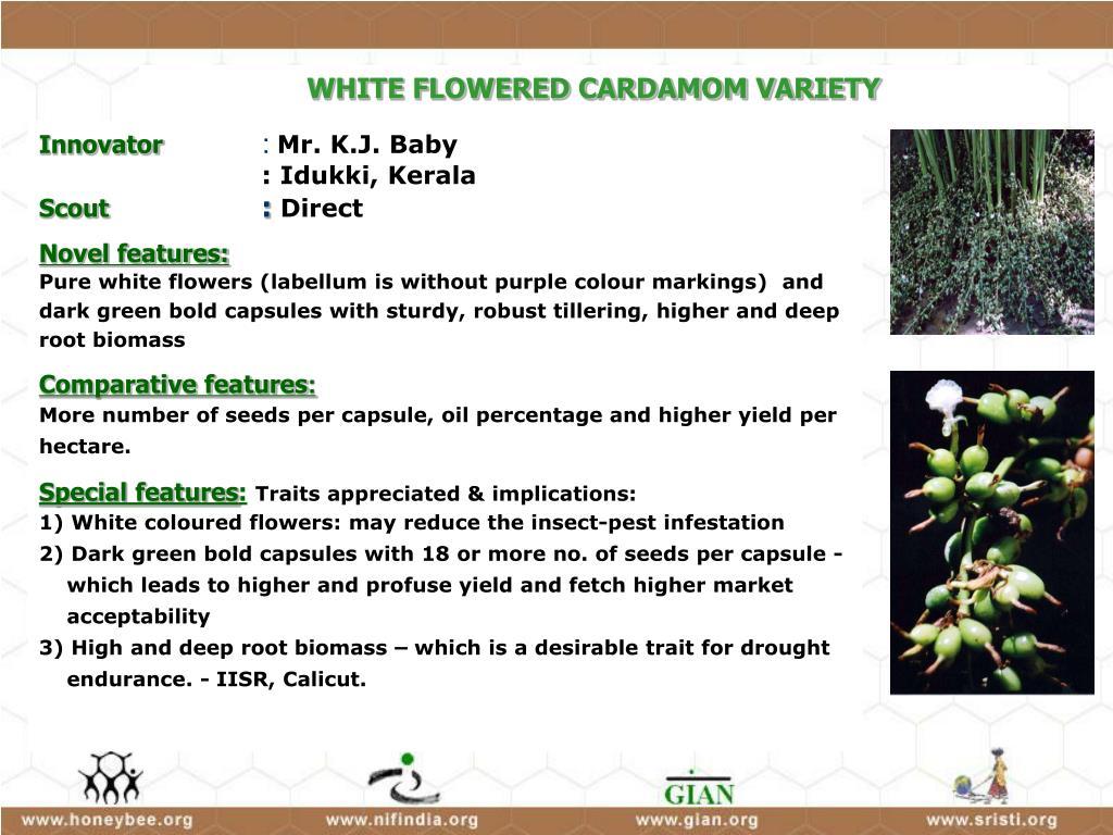 WHITE FLOWERED CARDAMOM VARIETY
