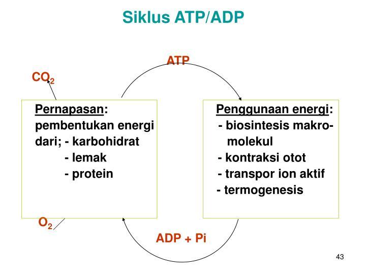 Siklus ATP/ADP