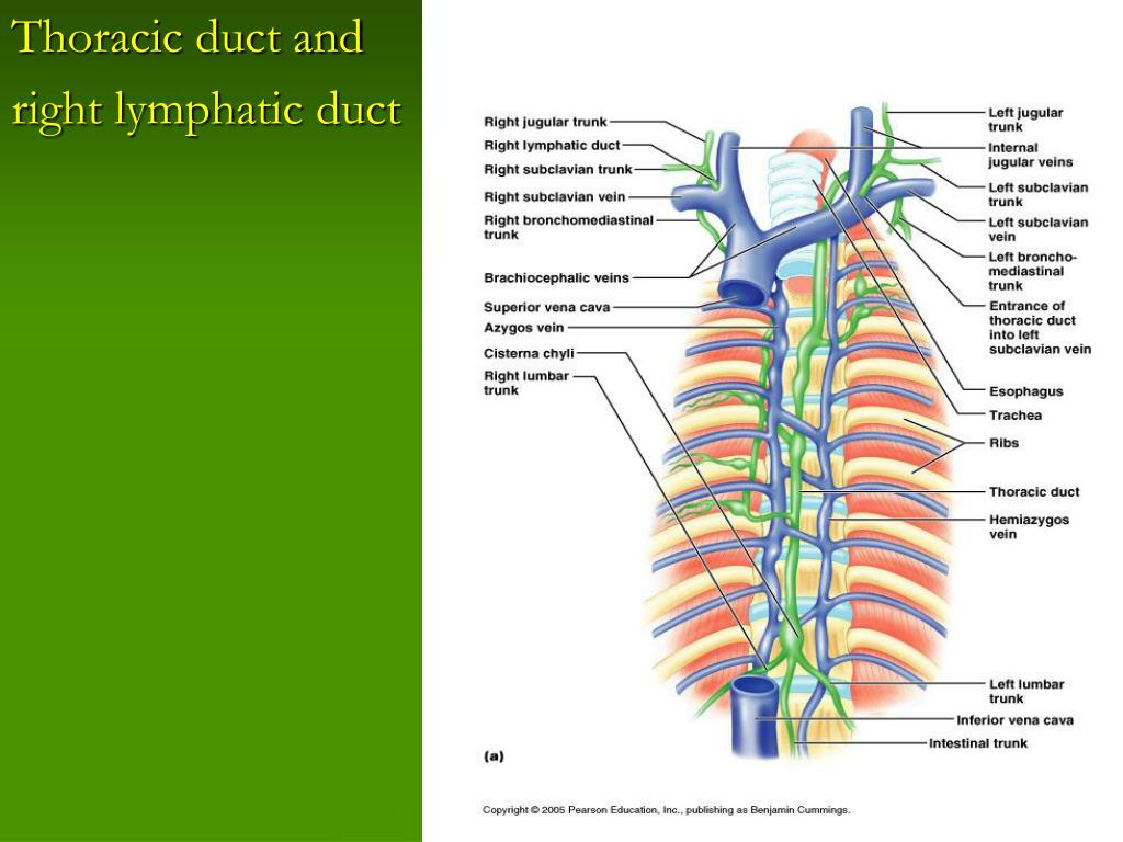 Thoracic duct and