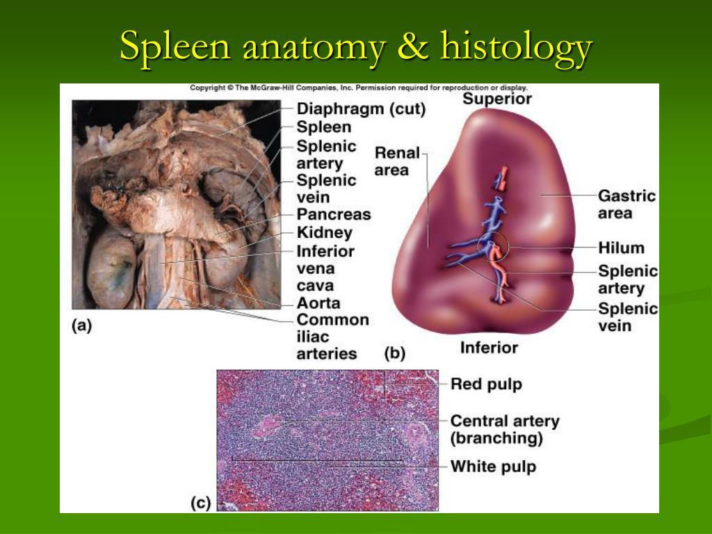 Spleen anatomy & histology