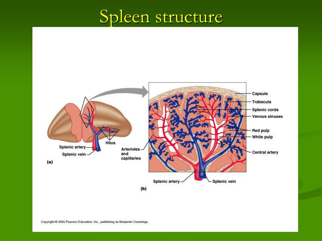 Spleen structure