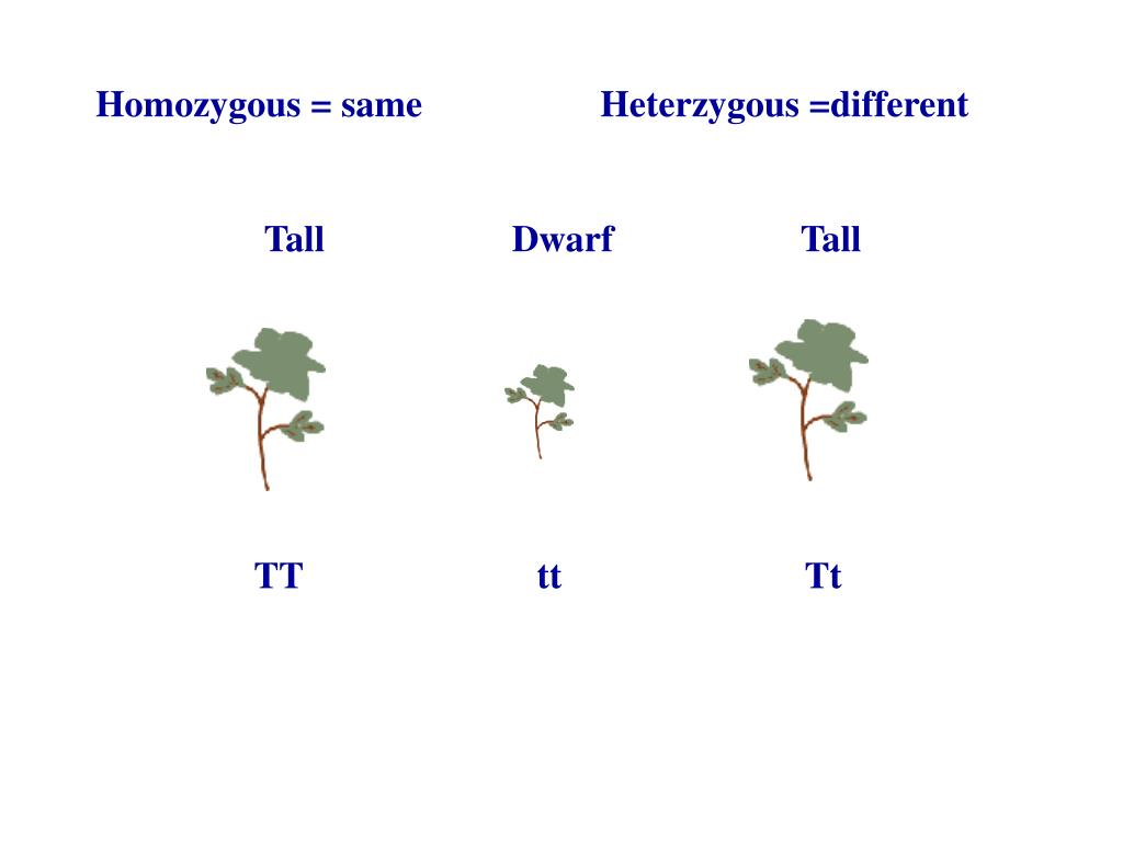 Homozygous = same                   Heterzygous =different
