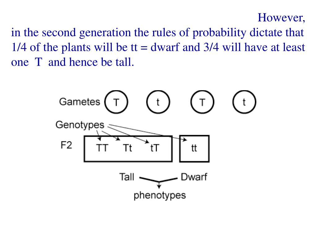 However, in the second generation the rules of probability dictate that 1/4 of the plants will be tt = dwarf and 3/4 will have at least one  T  and hence be tall.