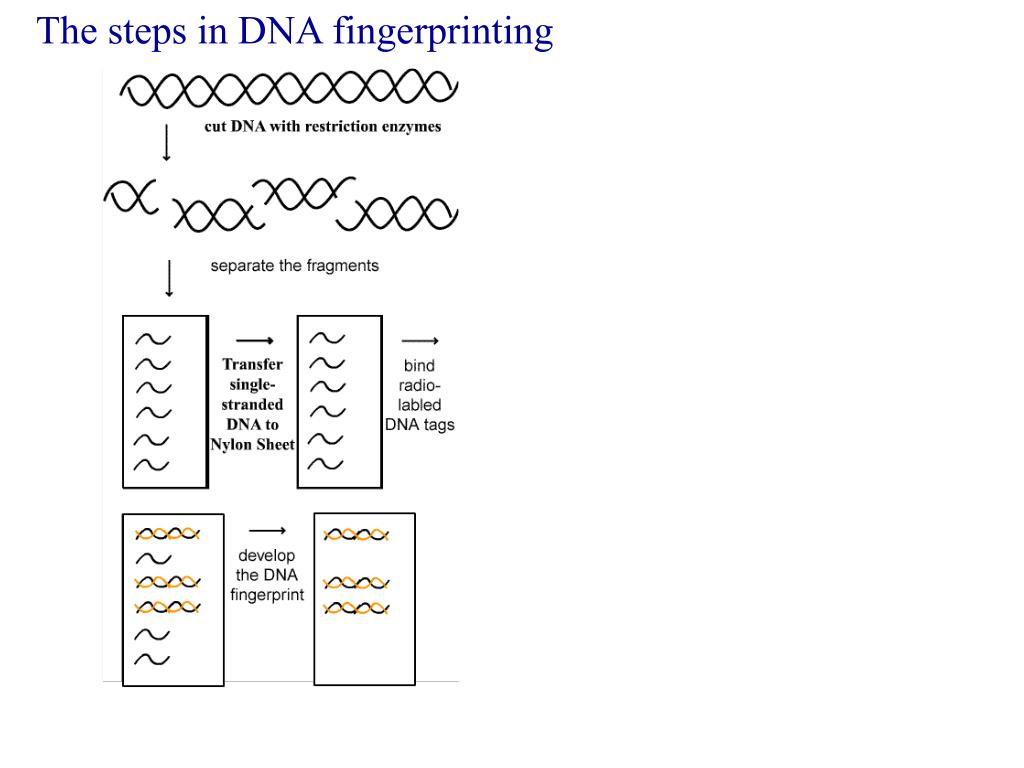 The steps in DNA fingerprinting