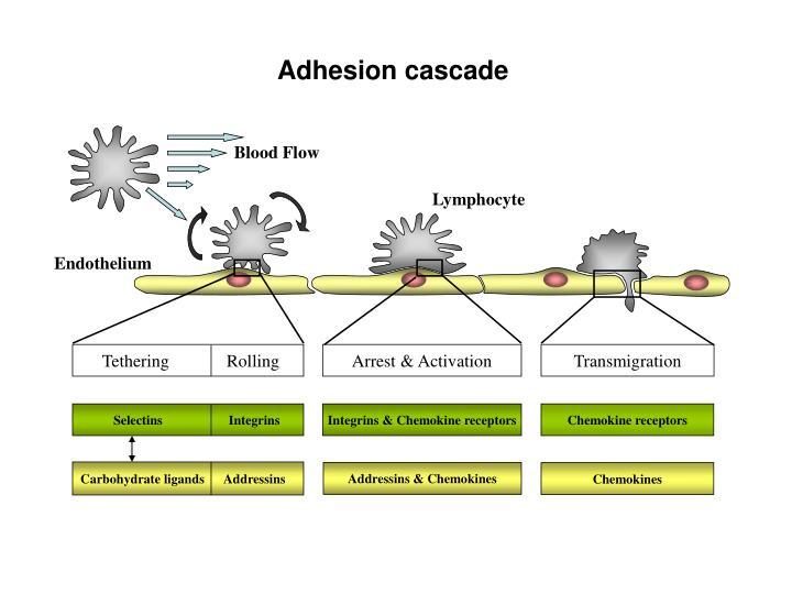 Adhesion cascade