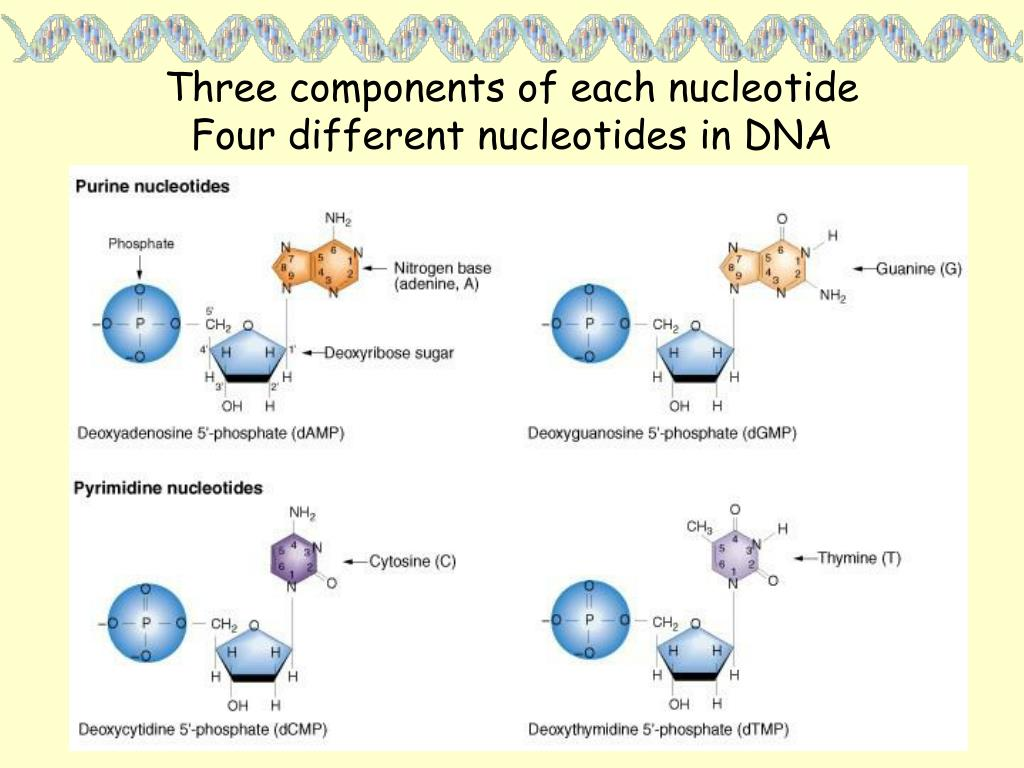 Three components of each nucleotide