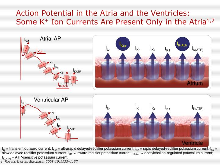 Action Potential in the Atria and the Ventricles: